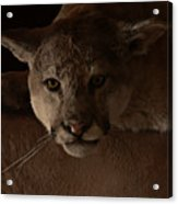 Mountain Lion A Large Graceful Cat Acrylic Print