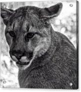 Mountain Lion Bw Acrylic Print