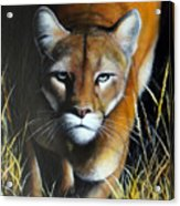 Mountain Lion In Tall Grass Acrylic Print