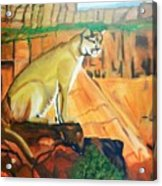Mountain Lion In Thought Acrylic Print