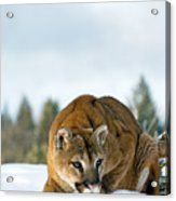 Mountain Lion In Winter Acrylic Print