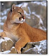 Mountain Lion On Snow-covered Rock Outcrop Acrylic Print