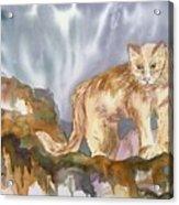 Mountain Lion On The Rocks  Acrylic Print