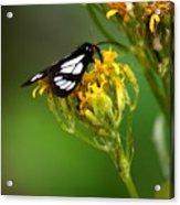 Mountain Moth Acrylic Print