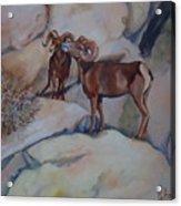Mountain Sheep Gab Session Acrylic Print