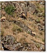 Mountain Sheep Hell Canyon Acrylic Print