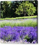 Mountainside Lavender Farm Acrylic Print