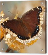 Mourning Cloak Butterfly Acrylic Print