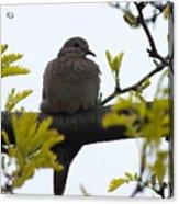 Mourning Dove 2 Acrylic Print