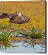 Mourning Dove In Flight Acrylic Print