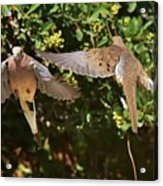 Mourning Doves Wings  Acrylic Print