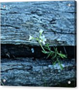 Mouse Eared Chickweed Acrylic Print
