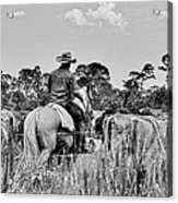 Moving Cattle Acrylic Print