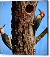 Red Bellied Woodpeckers Acrylic Print