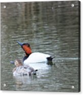 Mr And Mrs Canvasback Acrylic Print