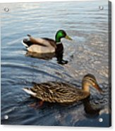 Mr And Mrs Duck On Parade Acrylic Print