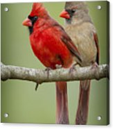 Mr. And Mrs. Northern Cardinal Acrylic Print by Bonnie Barry