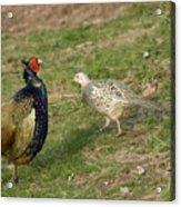 Mr And Mrs Pheasant Acrylic Print