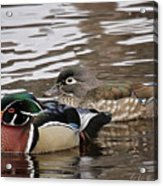 Mr. And Mrs. Wood Duck Acrylic Print