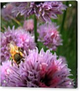 Mr Bee On My Chives Acrylic Print