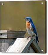 Mr Blue Bird Acrylic Print