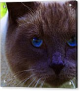 Mr. Blue Eyes Acrylic Print