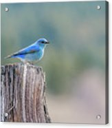 Mr. Bluebird Acrylic Print