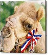 Mr. Camel Acrylic Print