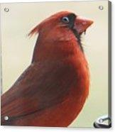 Mr Cardinal Acrylic Print by Maxine Billings
