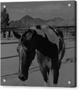 Mr Ed In Black And White Acrylic Print