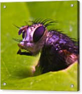 Mr. Fly Acrylic Print