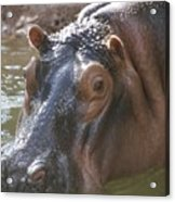 Mr. Hippo Acrylic Print