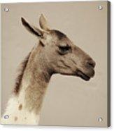 mr Llama Acrylic Print