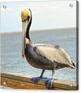 Mr. Pelican Acrylic Print