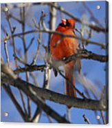 Mr. Red Beauty Acrylic Print