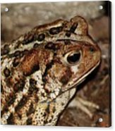 Mr. Toad Acrylic Print