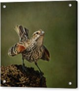 Mrs. Red Winged Blackbird Acrylic Print