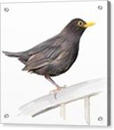 Ms. Blackbird Is Brown Acrylic Print