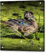 Ms. Wood Duck Acrylic Print