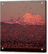 Mt Baker Snow Geese Acrylic Print