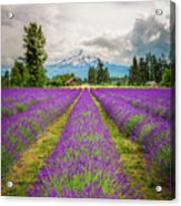 Mt. Hood And Lavender Acrylic Print