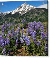 Mt. Teewinot And Lupine Acrylic Print