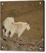 Mtn.goats Acrylic Print