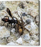 Mud Dauber Wasp And Prey Acrylic Print