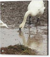 Muddy Tundra Swan Acrylic Print