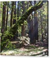 Muir Wood Acrylic Print