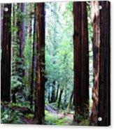 Muir Woods 1 Acrylic Print