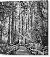 Muir Woods Bw Acrylic Print