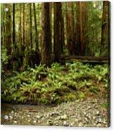 Muir Woods Sentinels Acrylic Print