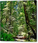 Muir Woods Study 22 Acrylic Print